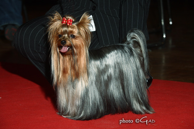 YORKSHIRE TERRIER CORSE